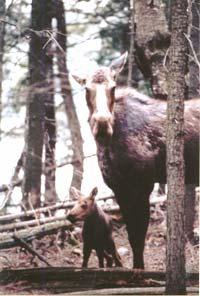 Native Moose Harvest
